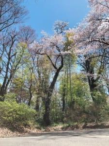 蚕養国神社、駐車場脇の桜