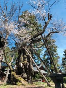 蚕養国神社、峰張桜