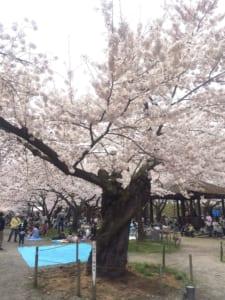 会津若松、桜開花の基準木(2016.04.10)