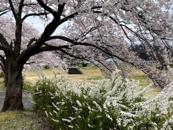 会津短大、桜と雪柳