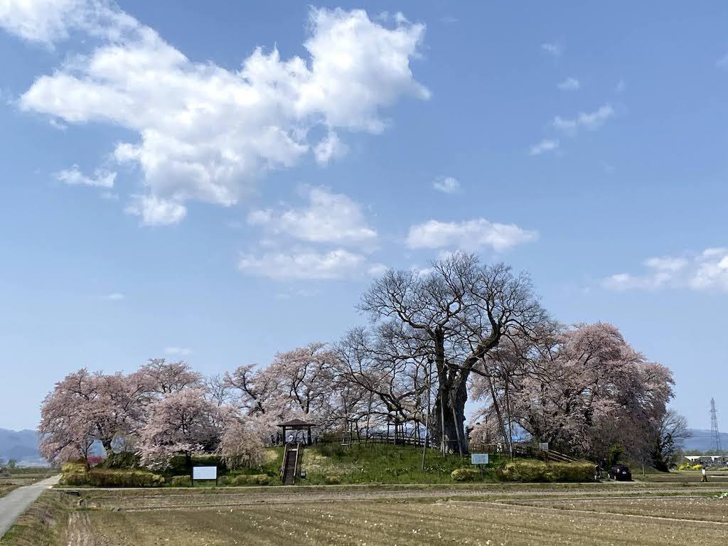 神指城跡、桜