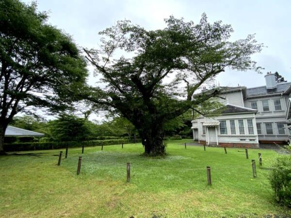 天鏡閣 北庭園にあるソメイヨシノ