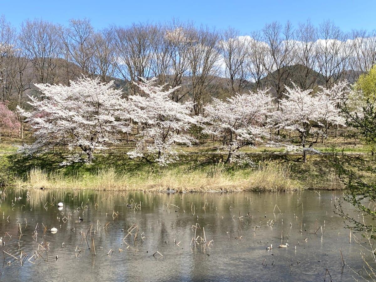 会津運動公園 桜