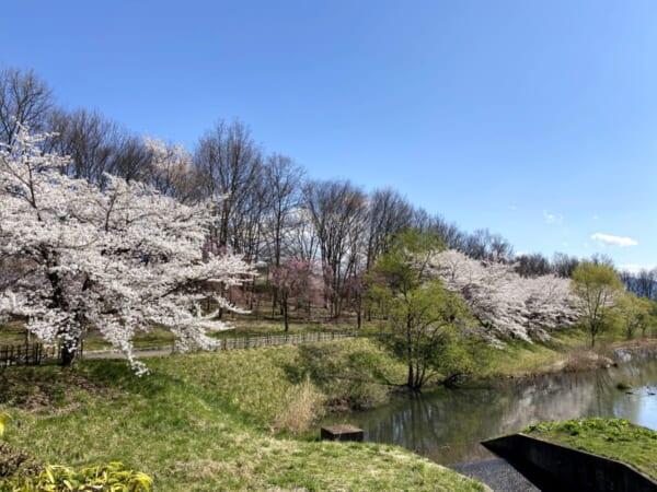 会津運動公園の桜
