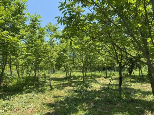 ウルシの植栽地