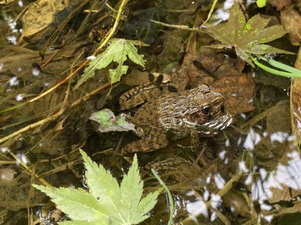 雄国沼湿原 かえる発見