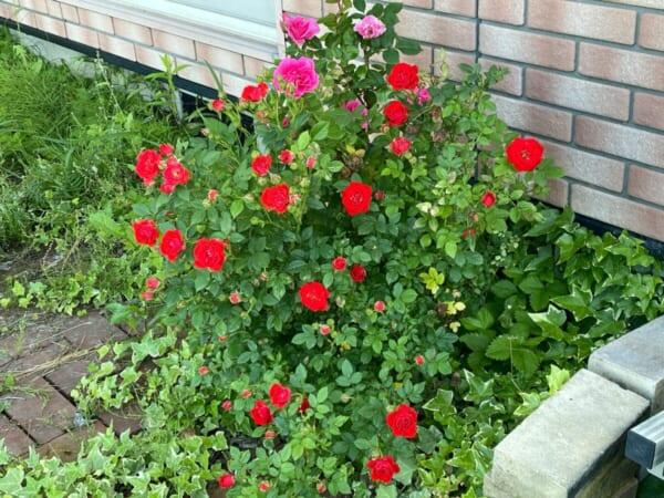 6月1日の薔薇